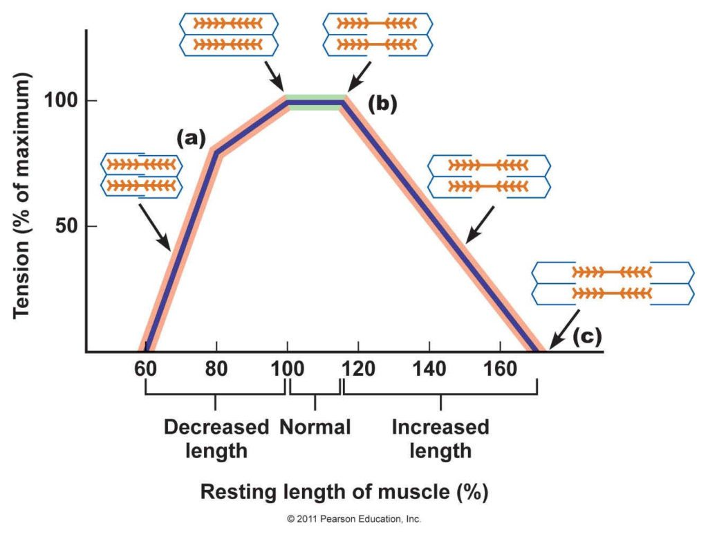 muscle-length-tension-relationship