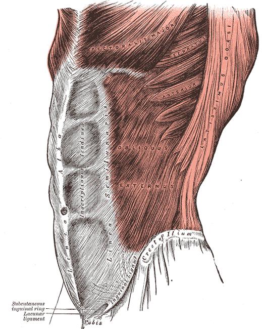gray392-lats-obliques-serratus-pecs